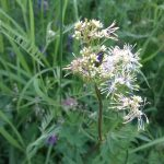 Common-Meadow-Rue